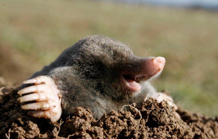 fjernelse af muldvarpe
