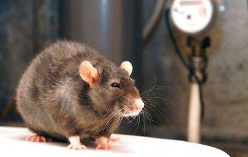 hvordan fjerner man lugt fra rotter