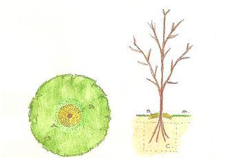 beskæring af unge æbletræer