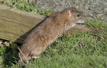 mus og rotter samtidig