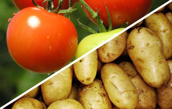 Få Kartofler Og Tomater På én Gang Med Tomatkartoffelplanten Tomtato