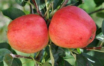 hvornår er æbler modne
