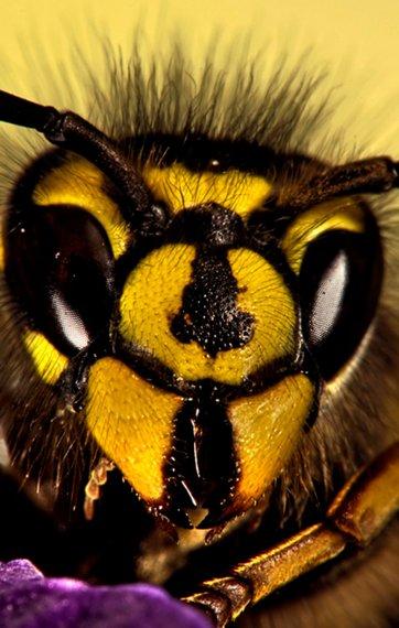 dør hvepse om vinteren