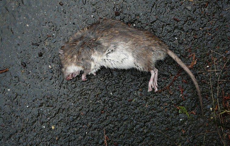 hvor mange rotter er der i danmark
