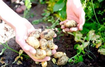 hvornår graver man kartofler op