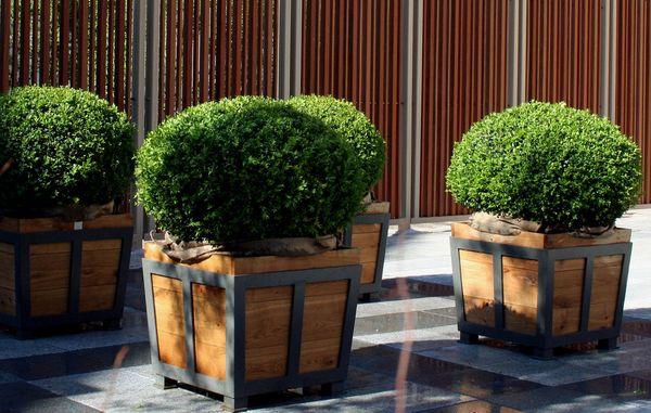 plante buksbom i krukker