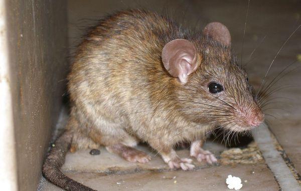 rotter hvad gør man?