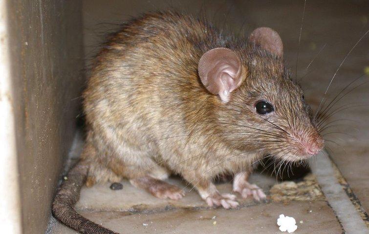 rotter under huset