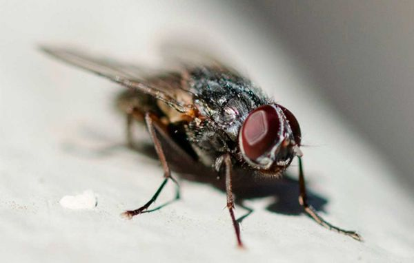 Kæmpestor Fluer – sådan holder du dem væk fra boligen DM57