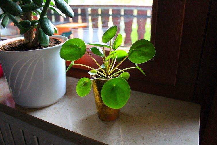stueplanter der tåler meget sol