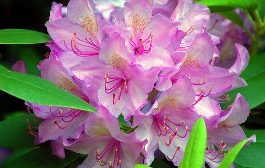 Rhododendron Plant Og Plej Sadan
