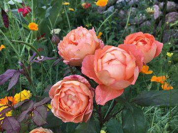 bunddække mellem roser