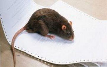 hvad spiser rotter