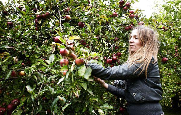 hvornår planter man æbletræer