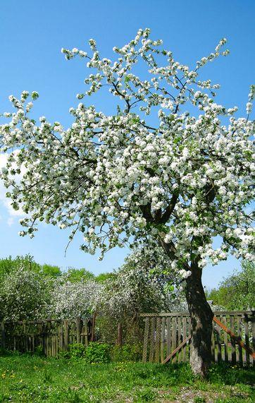 afstand mellem æbletræer