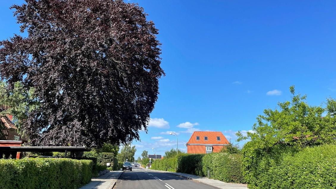 Stort træ med grene ud over vejen